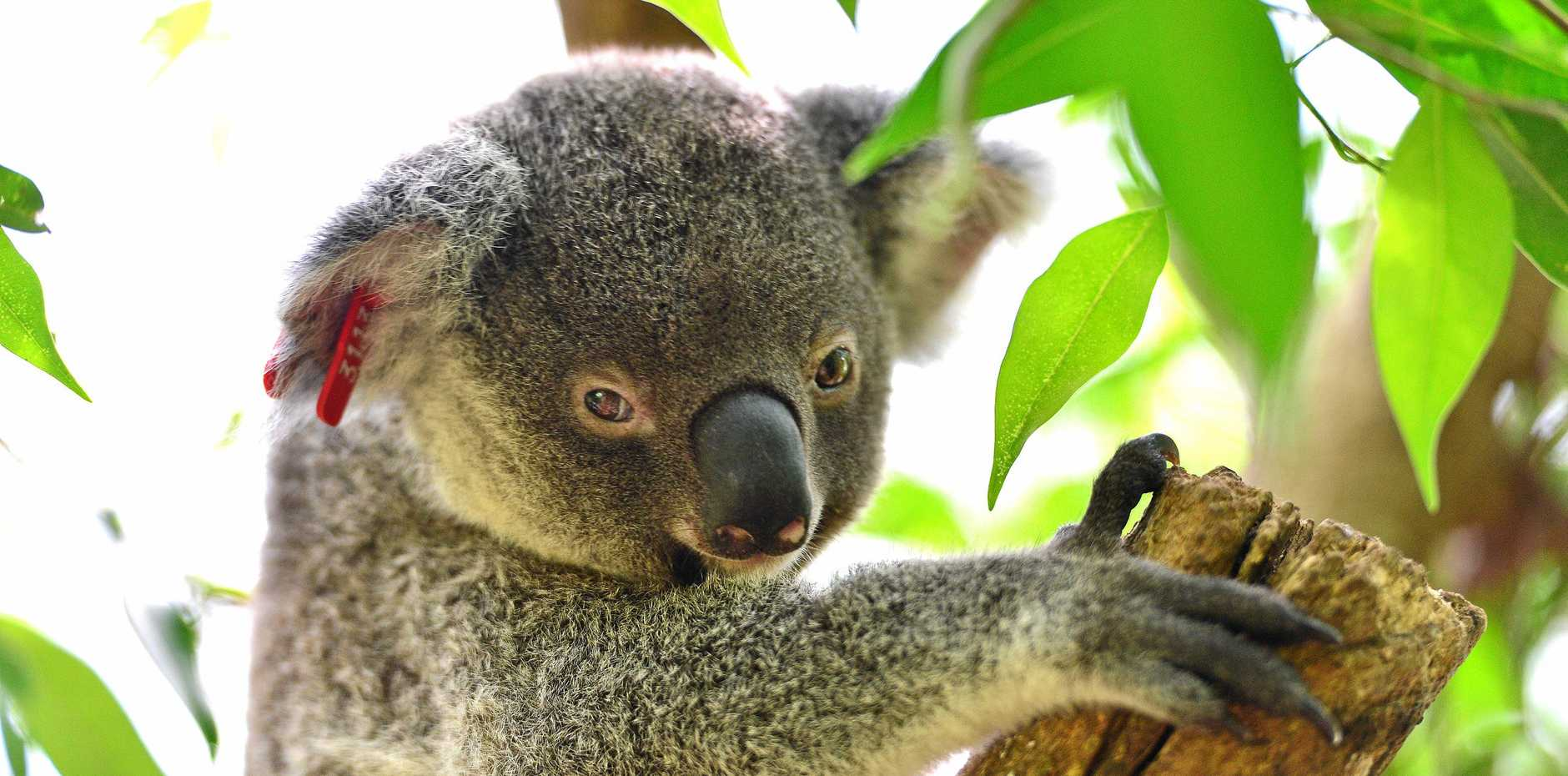 """""""Can we have the brave ambition to protect our endangered koalas and precious remnant vegetation?"""