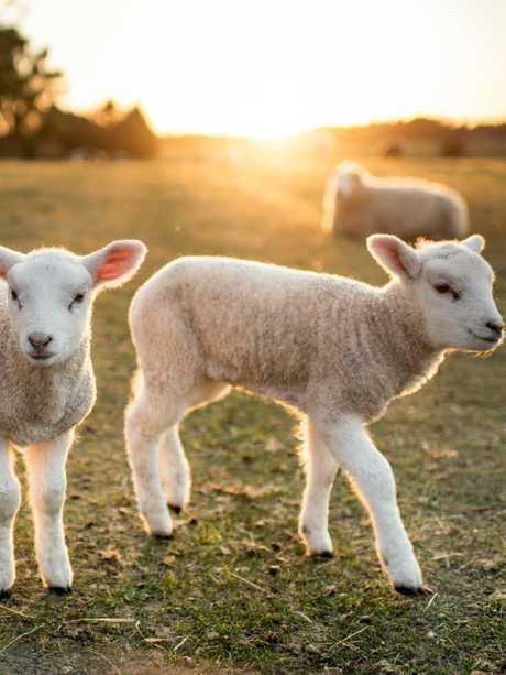 Sheep deserve better
