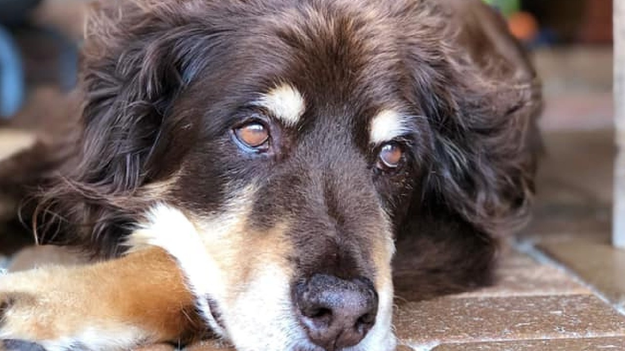 Beloved 16-year-old dog Abby, whose body was in a freezer which was stolen from a Beenleigh vet clinic in March.