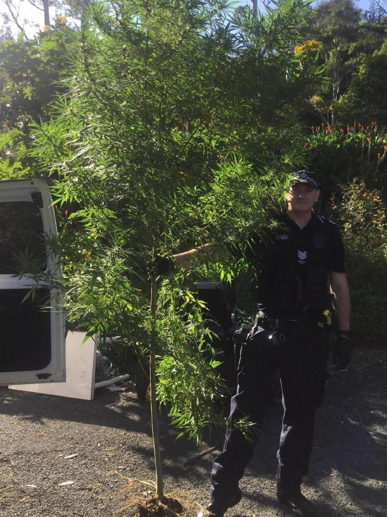 The plant was taller than police officers on scene.