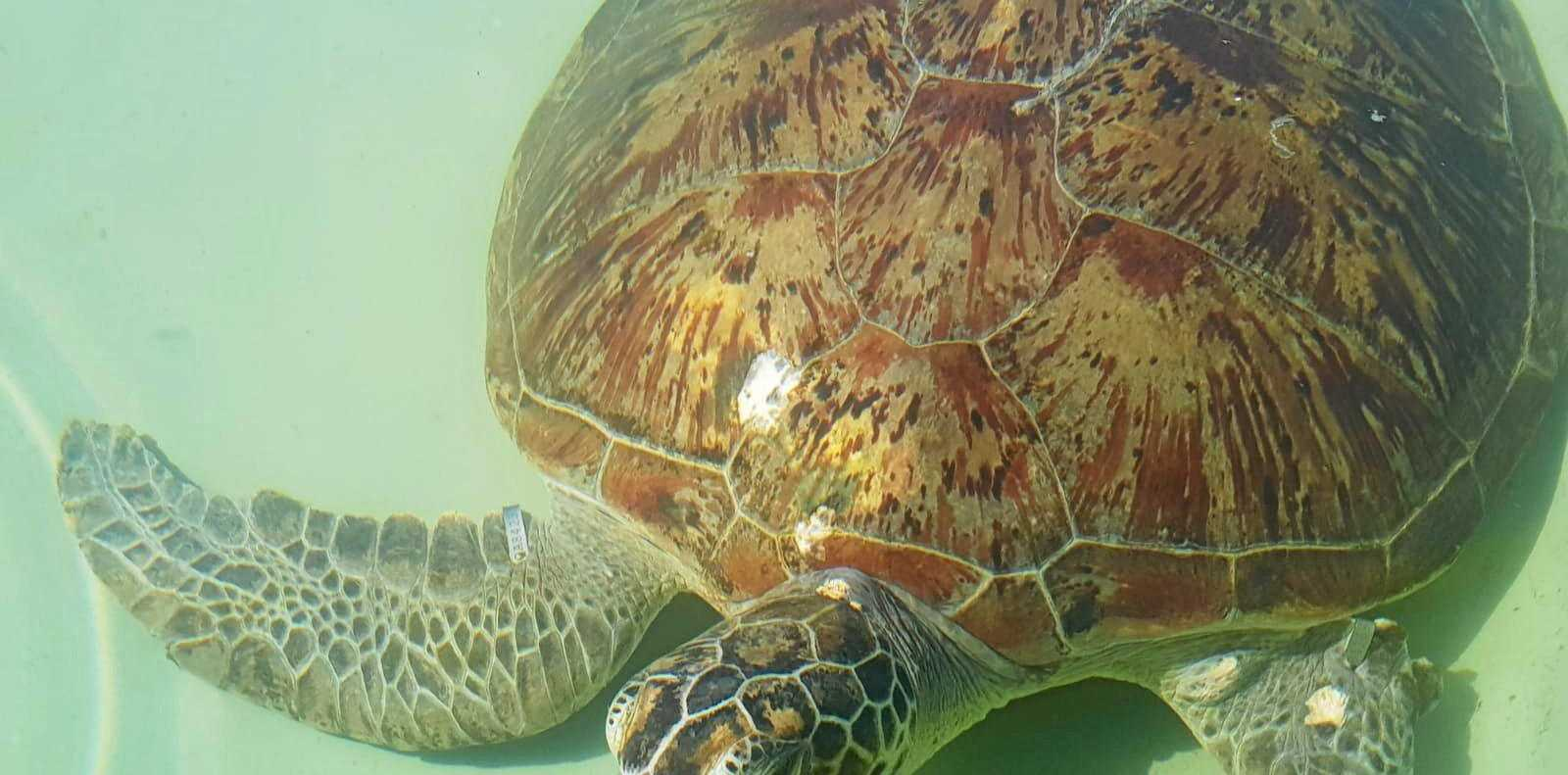 FAREWELL: Nubby the turtle was released back into the Toolooa bends on Wednesday   after he had been in the care of the Gladstone Area Water Board hatchery since June 2018. His front limb was missing most likely due to a shark attack.
