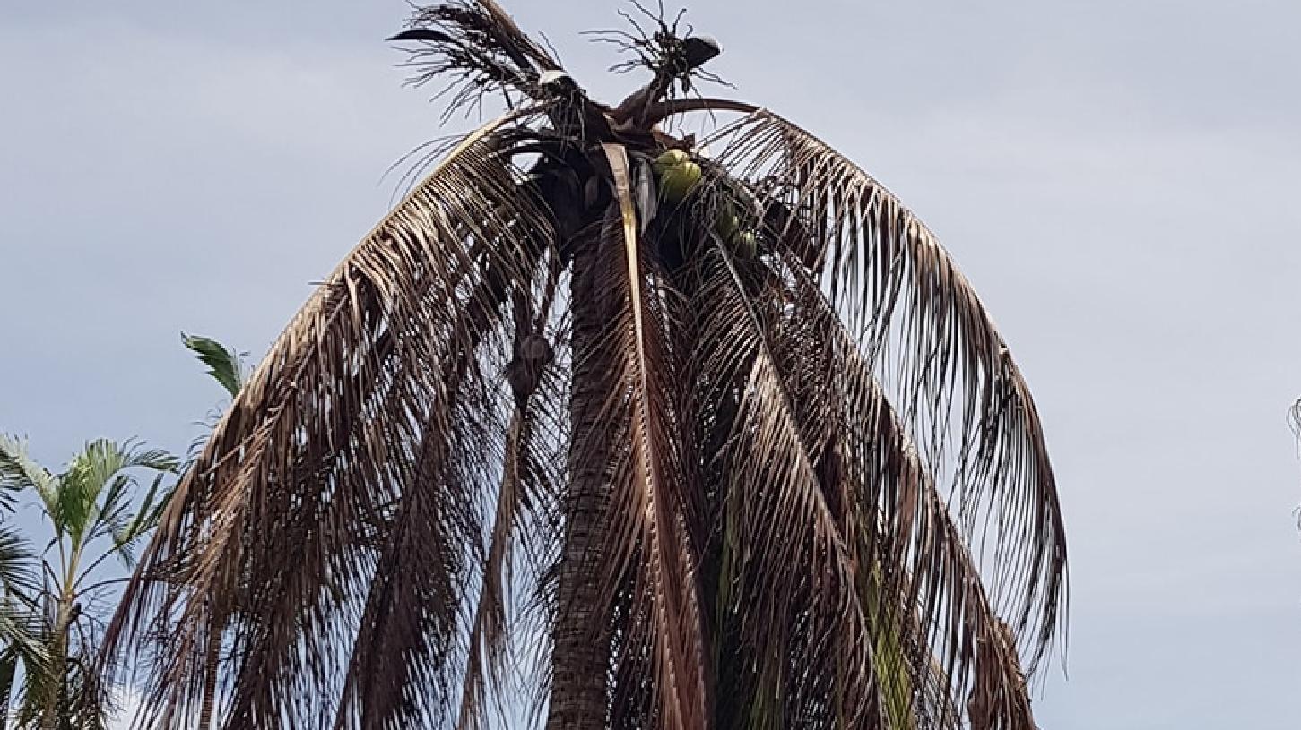 Dead coconut palm, believed to have fallen victim to a plant disease, in Mathew Massimissa's yard in Kewarra Beach.