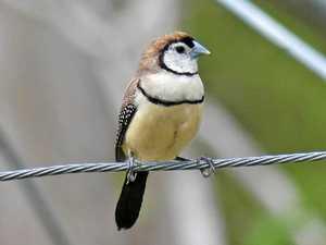 BRIGGSY'S BIRDS: Little finch has ingenious nesting strategy