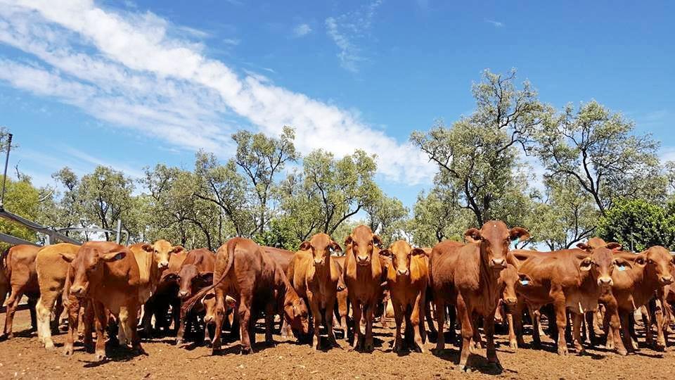 MISSING HERD: 200 Droughtmaster cows have been stolen from Surat.