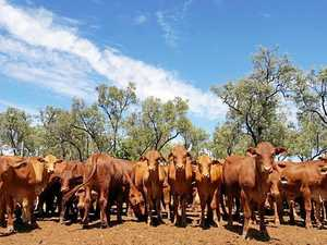 Thieves steal 200 cows from Maranoa property