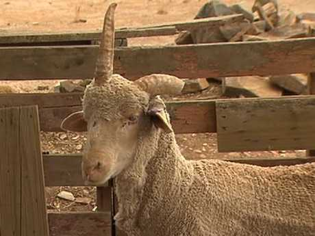 Joey the unicorn sheep has become the talk of the town. Picture: 7News