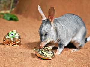 Save the bilby and bounce the bunny this Easter