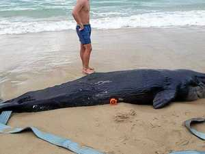 Buried right, whale carcasses shouldn't attract sharks