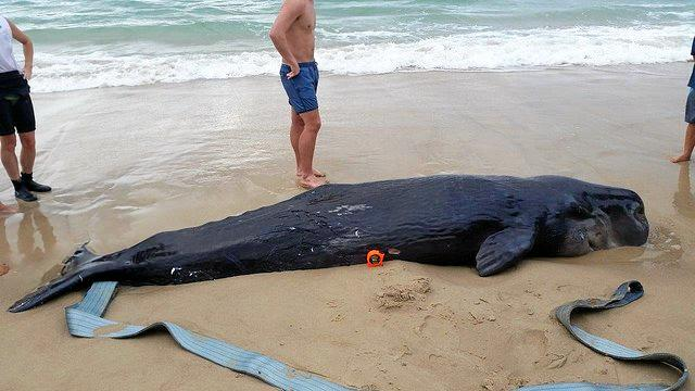 The whale carcass, before its burial.
