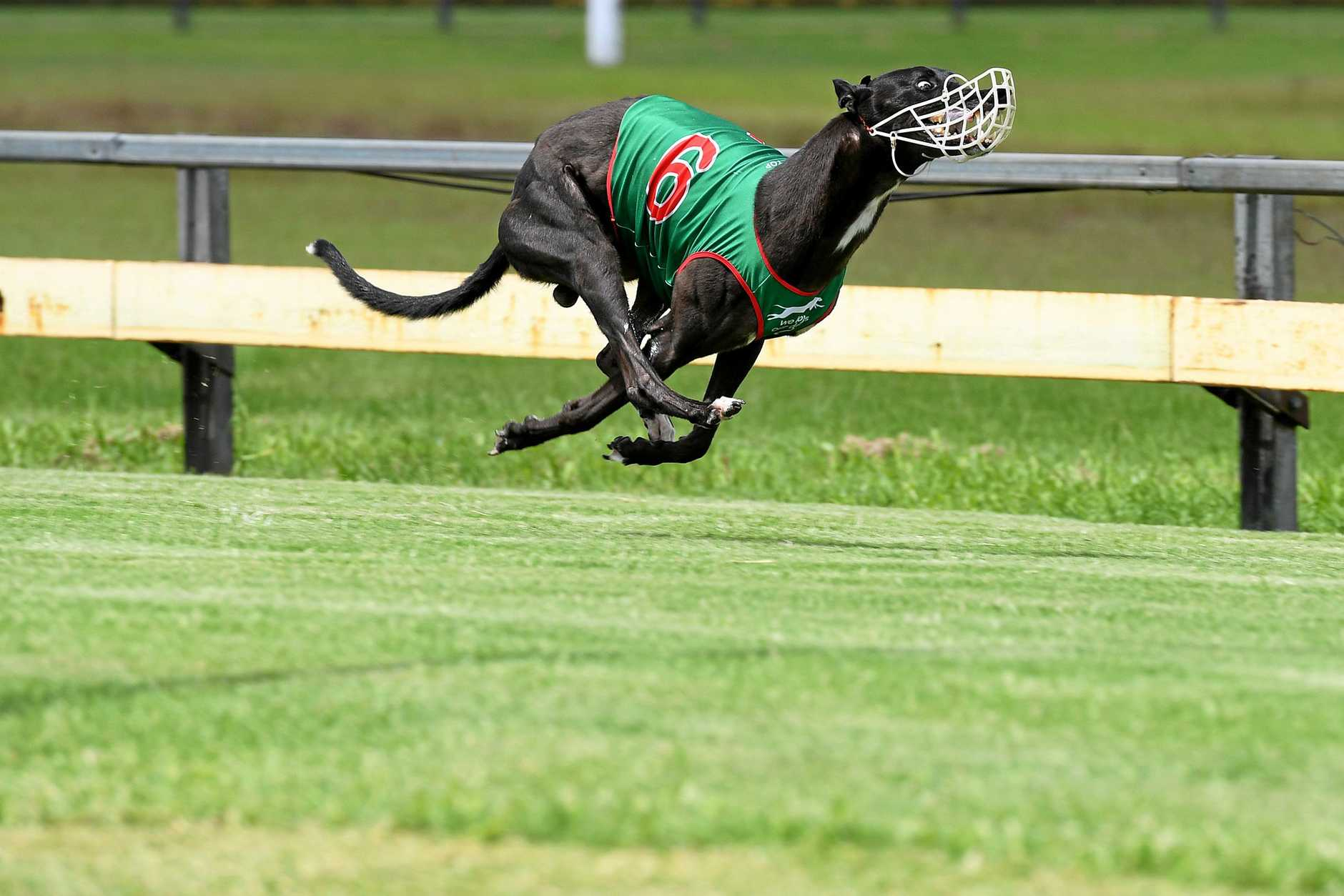 GREYHOUND RACING: Bundy greyhounds like Fire Fly Jake are set to feature more prominently with Thabeban Park races to be shown live on Sky Racing.
