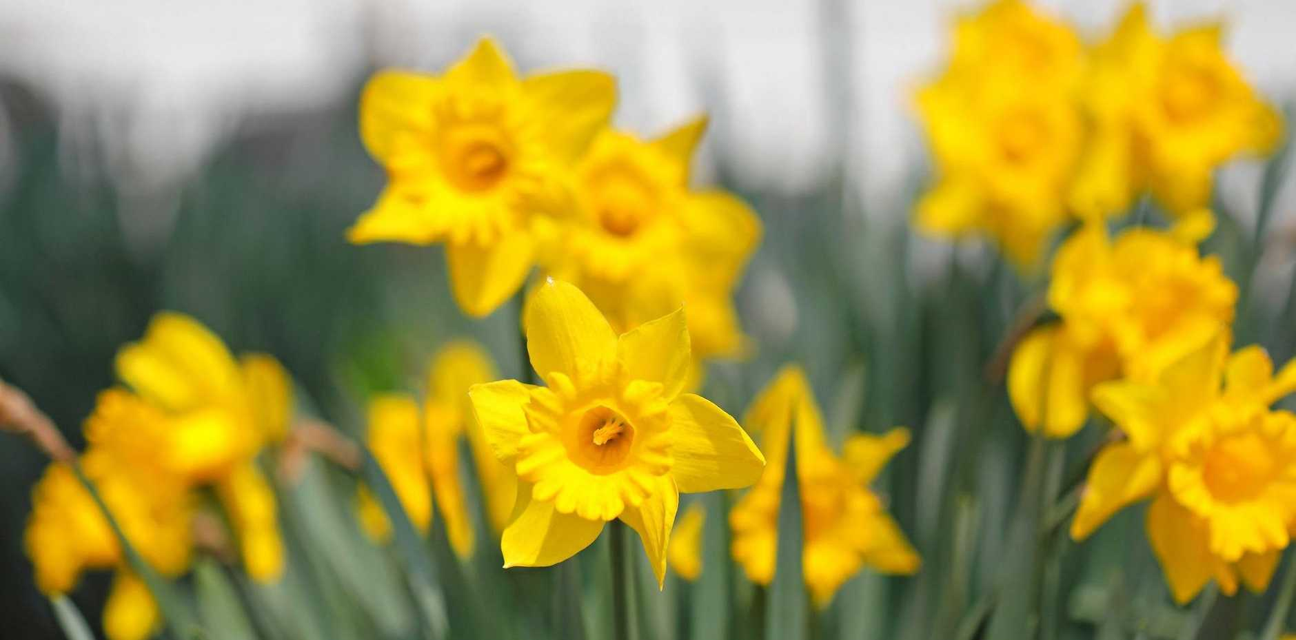 Daffodils can be left in the ground and will flower year after year.