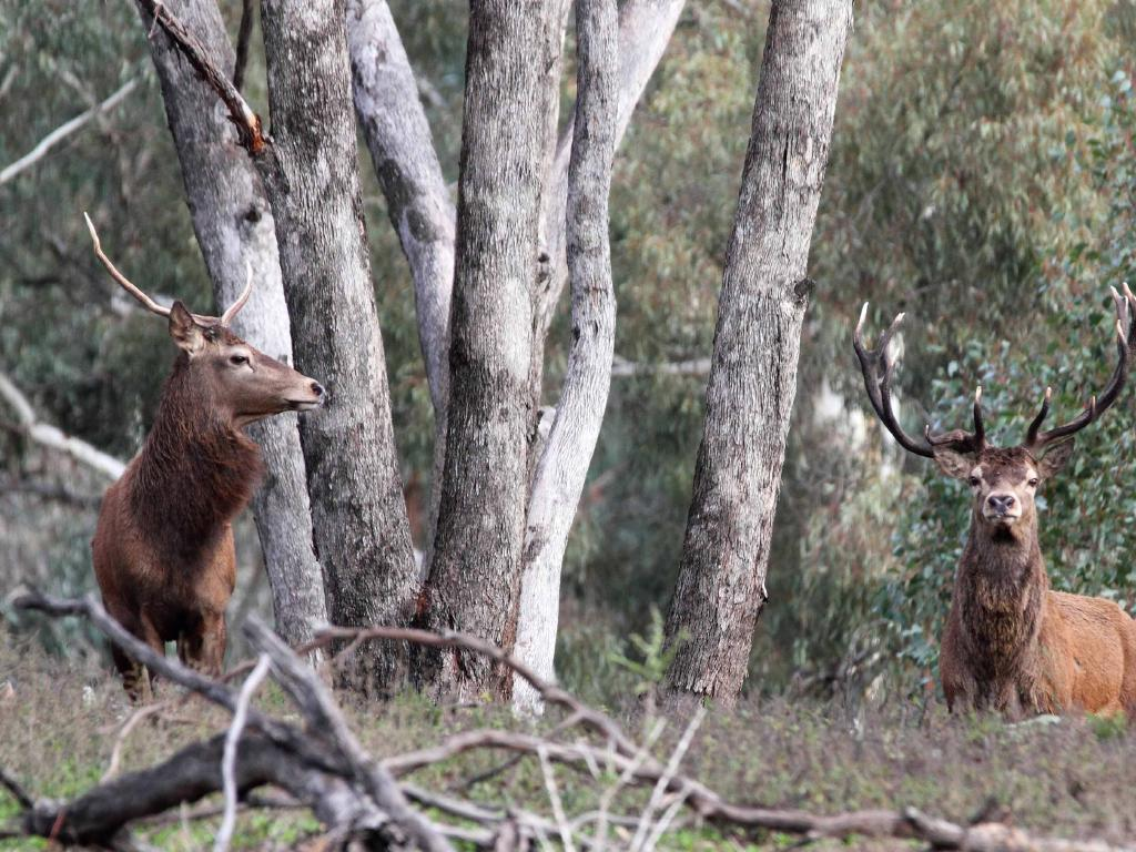 Feral deers have become a serious problem in Victoria. Picture: Peter Tremain