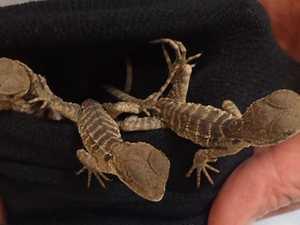 How lizard smuggler hid dozens of reptiles