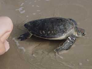 Christine the green sea turtle released back into the wild