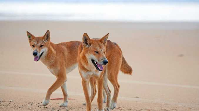 BREAKING: Dingoes pull toddler from caravan on Fraser Island