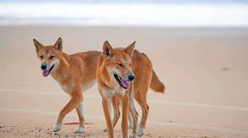 WARNING: Fraser Island dingoes are active over the peal holiday period.