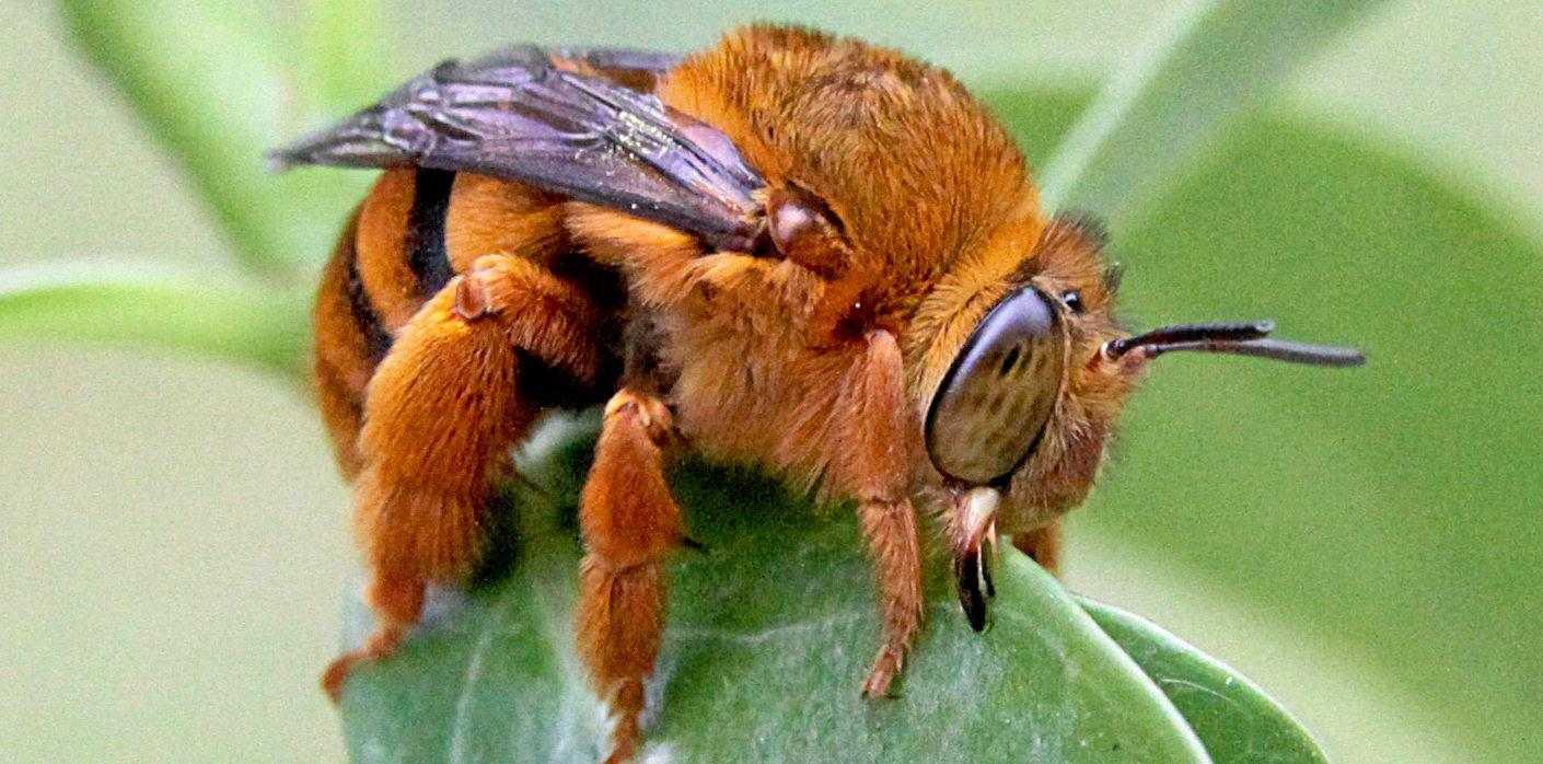 Teddy bear bee (Amegilla bombiformis) is a real helper.