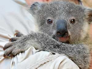 Councils to fund economic study into ambitious koala park