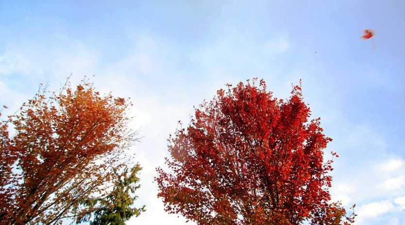 Autumn leaves on the Granite Belt.