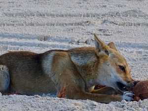 'Our worst nightmare': Advocates devastated by dingo attack