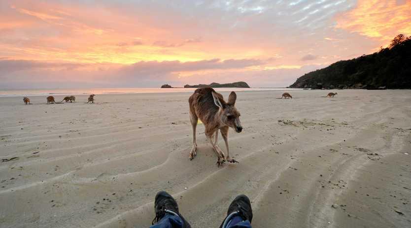 Wallabies on the beach at Cape Hillsborough.