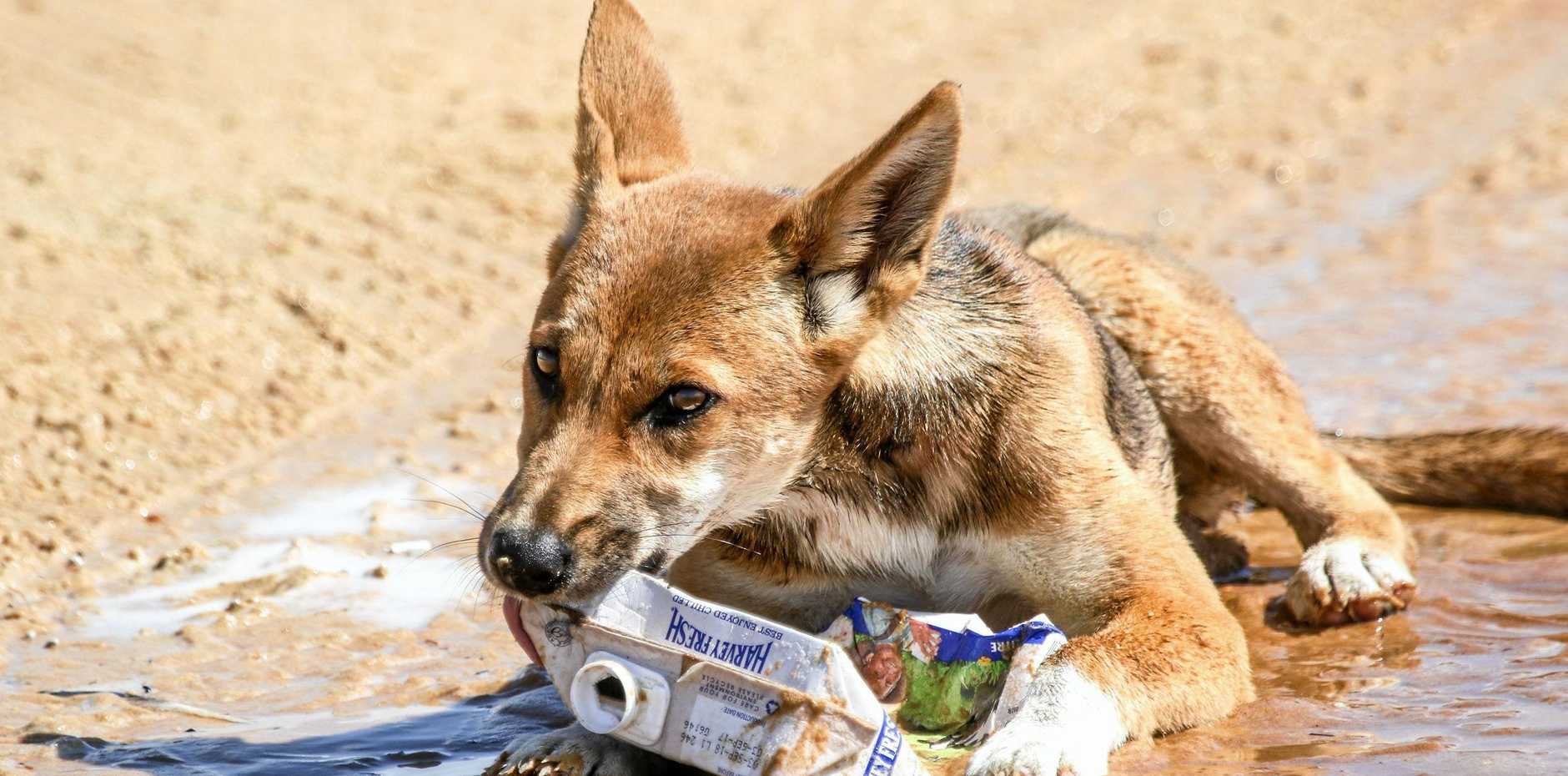 A dingo on Fraser Island with a piece of discarded rubbish.