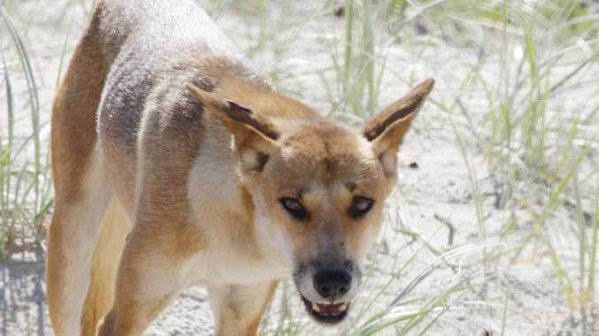 Shocking attack: How dingo got to toddler
