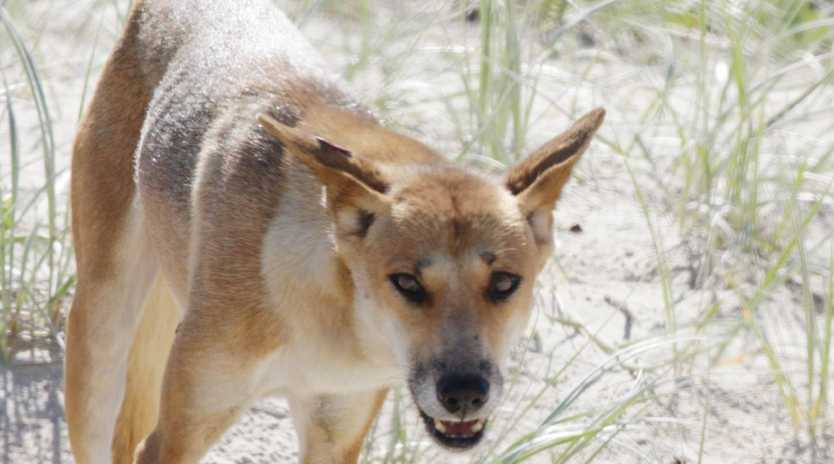 A dingo on the beach a Fraser Island. Picture: Lachie Millard