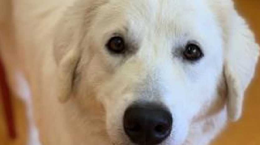 Alegra the Maremma at the RSPCA. Picture: RSPCA Facebook