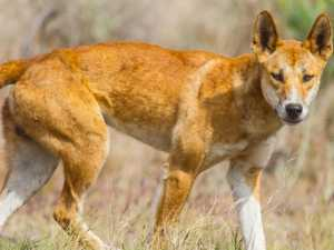 Baby victim of dingo attack has skull surgery
