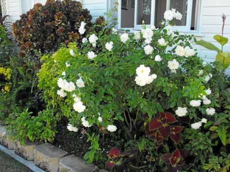 Iceberg is a floribunda rose. This one is located in Longreach.