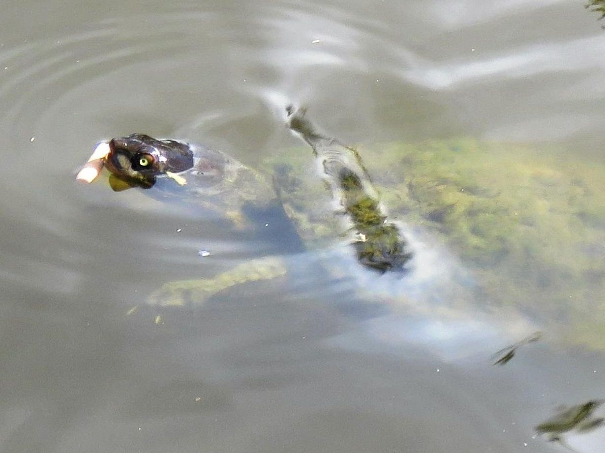Gympie resident Susan Terry spotted a turtle eating a cigarette butt in Lake Alford.