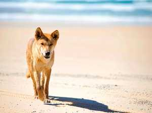 Ranger numbers to increase on Fraser after dingo attack