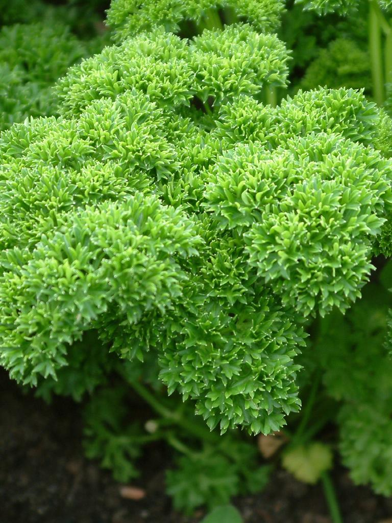 Now is the time to grow curly parsley.