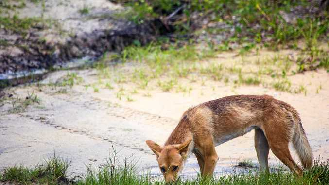 DINGO WARNING: Island rangers out in force on holidays