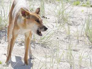 DINGO ATTACK: Fraser Island rangers reveal fate of suspects