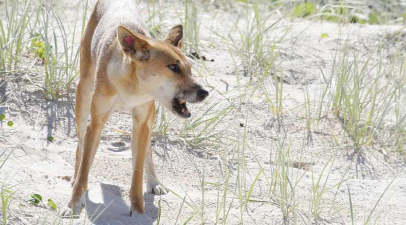 Rangers have been unable to identify the dingoes involved in the attack on a 14 month old boy.