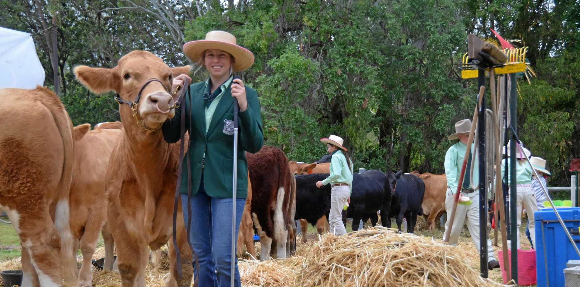 STEERING HER EDUCATION: Claire Goody leads cattle at the 2019 Mount Perry Show.