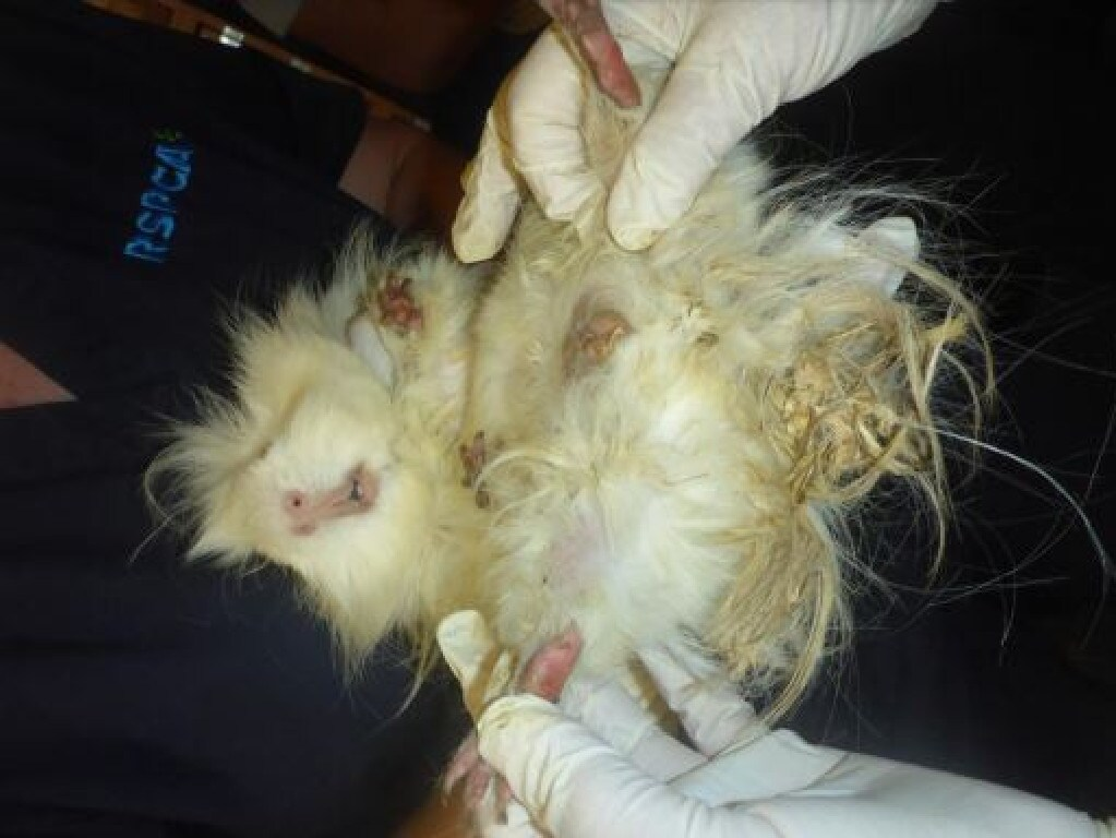 Some of the guinea pigs were so badly neglected they were suffering and had to be euthanased 3.jpg