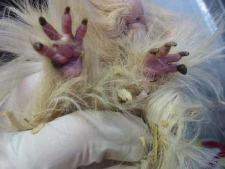 Some of the guinea pigs were so badly neglected they were suffering and had to be euthanased 6.jpg
