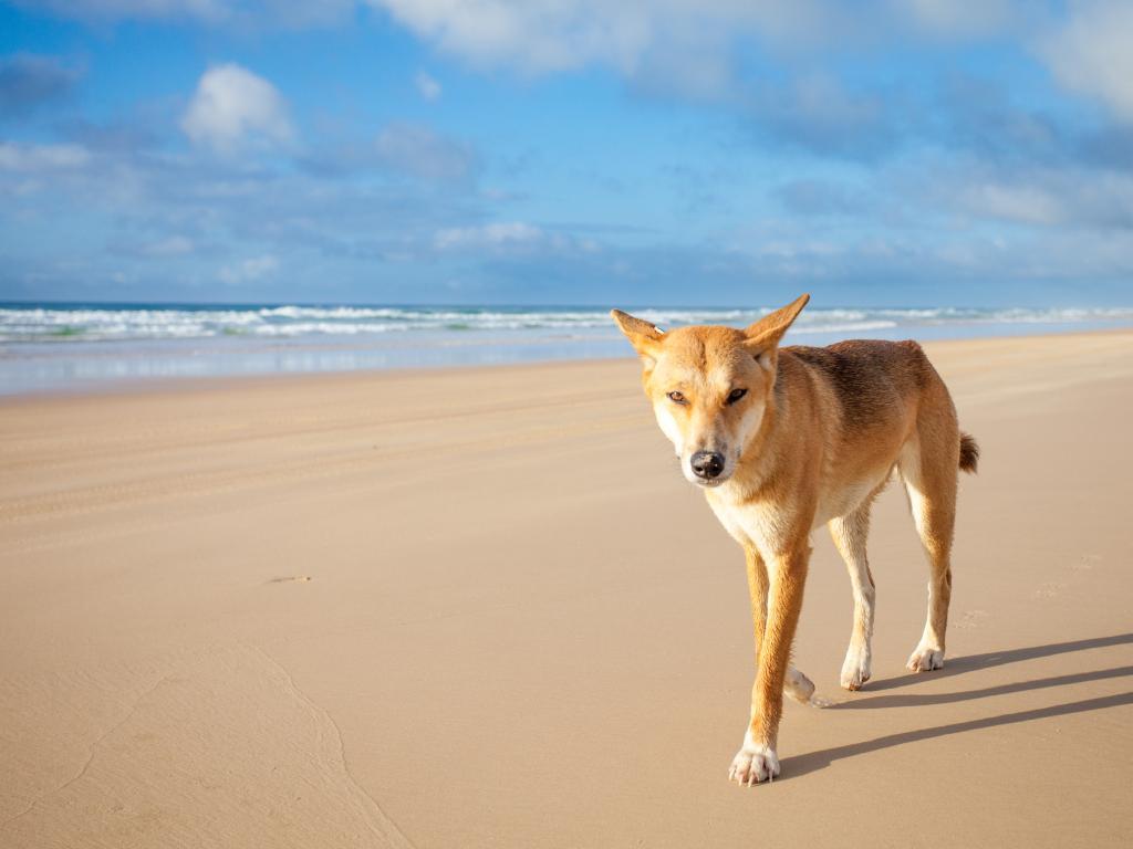 A dingo walking along 75 mile beach on Fraser Island.