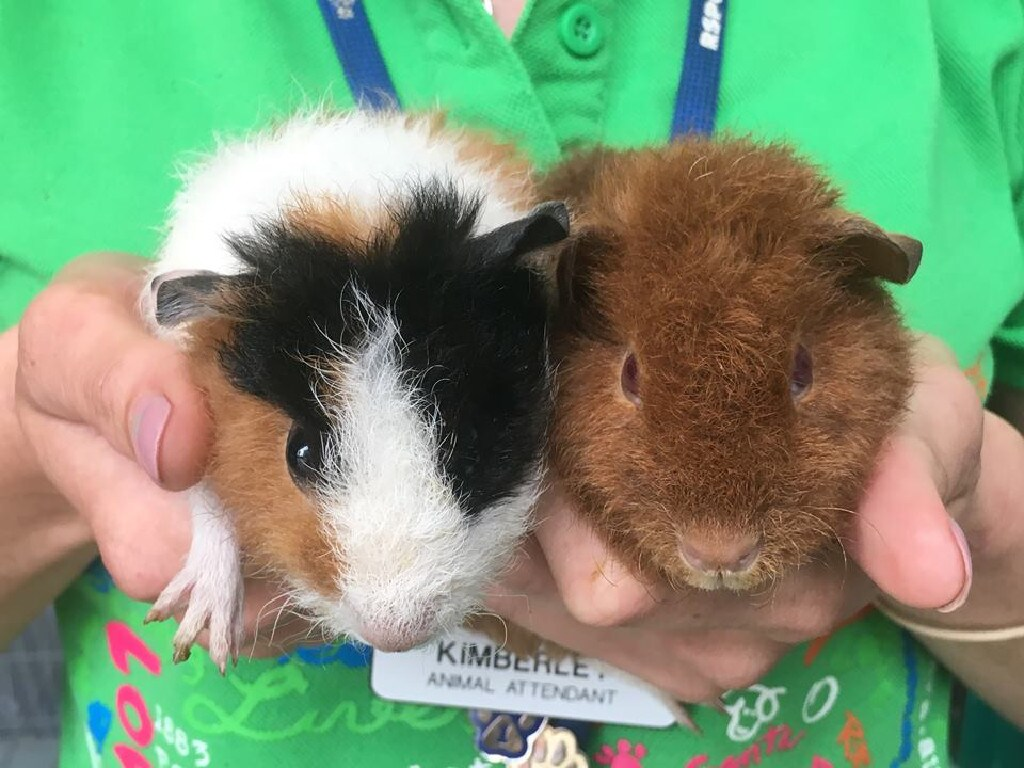 The seized guinea pigs that could be saved were cared for and rehomed by the RSPCA.