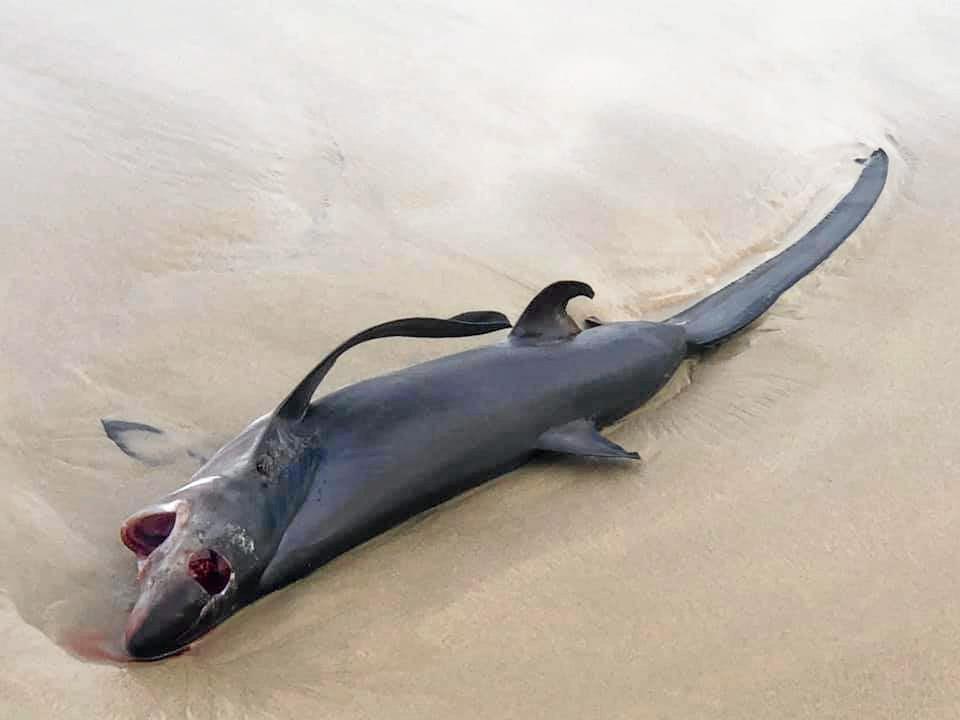 Thresher shark found washed up on South Ballina Beach.