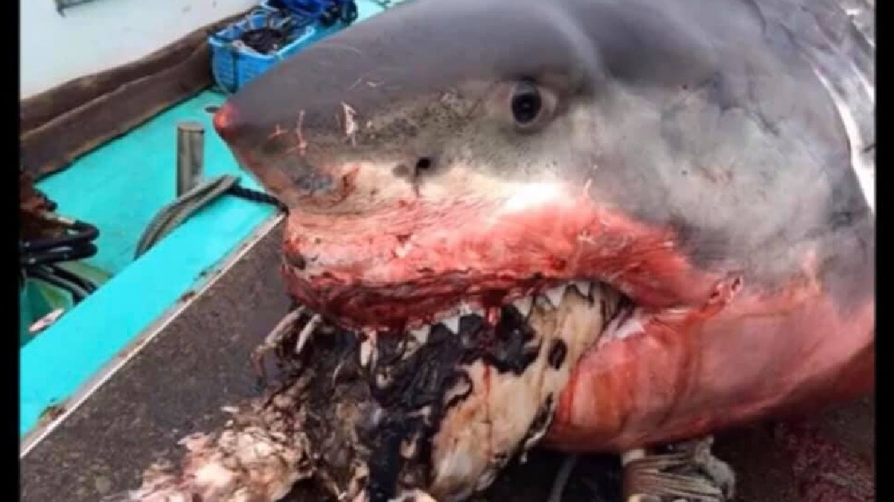 The shark bit off more than it could chew. Picture: Greg Vella