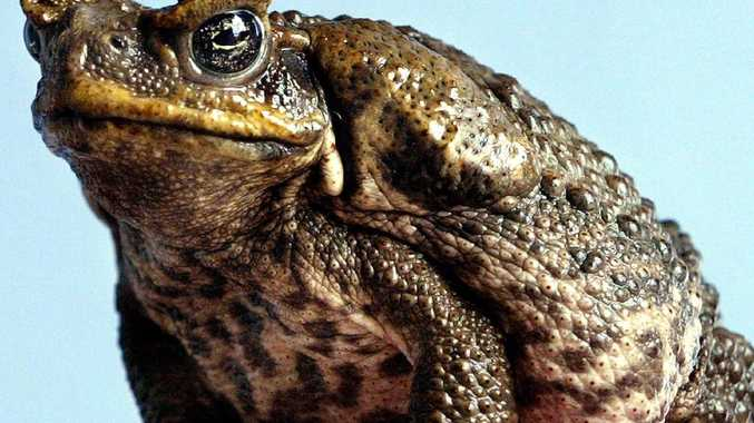 Labor must 'apologise' for cane toad analogy