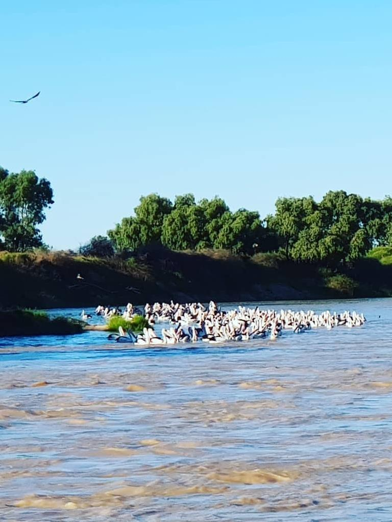 Pelicans flock to the Diamntina River following the 2019 flood events. Picture: Instagram