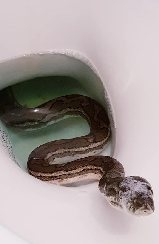 A Brisbane snake catcher's photos of a snake in a toilet.