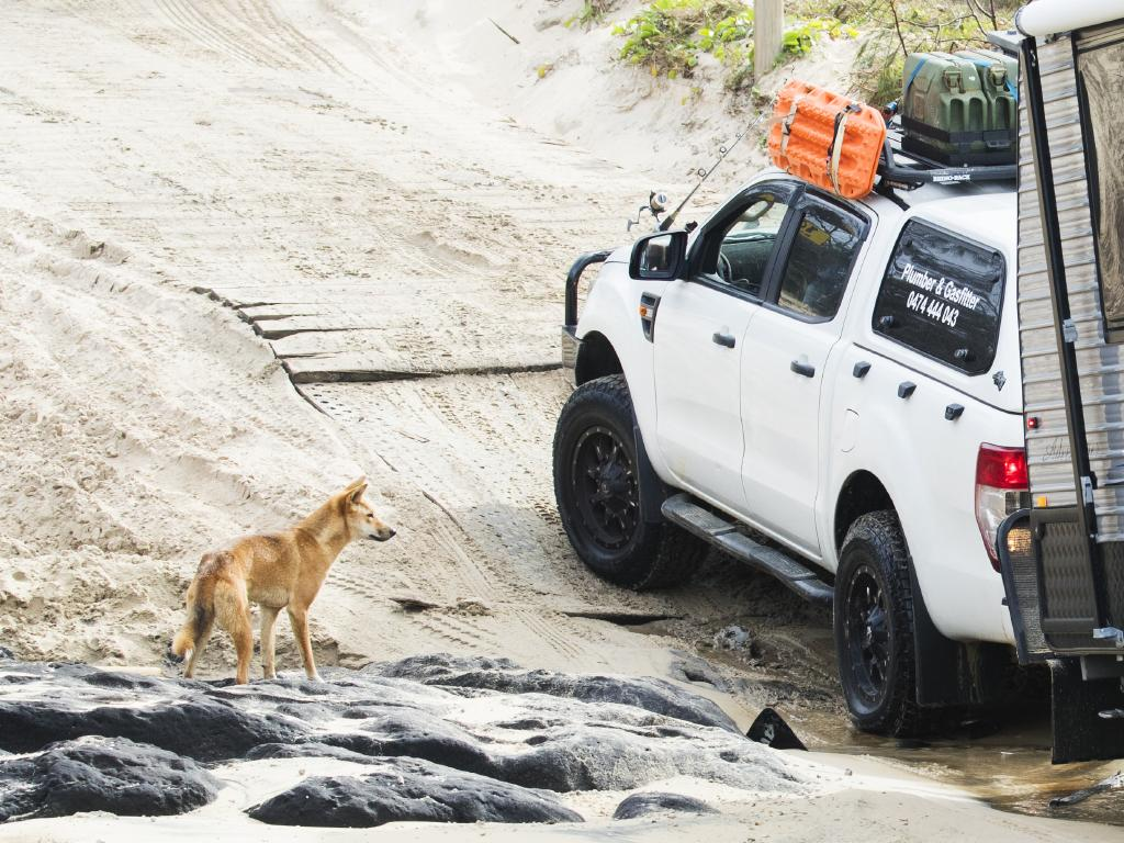 A Dingo approaches a 4wd towing a caravan near Yidney Rocks on Fraser Island. Photo Lachie Millard