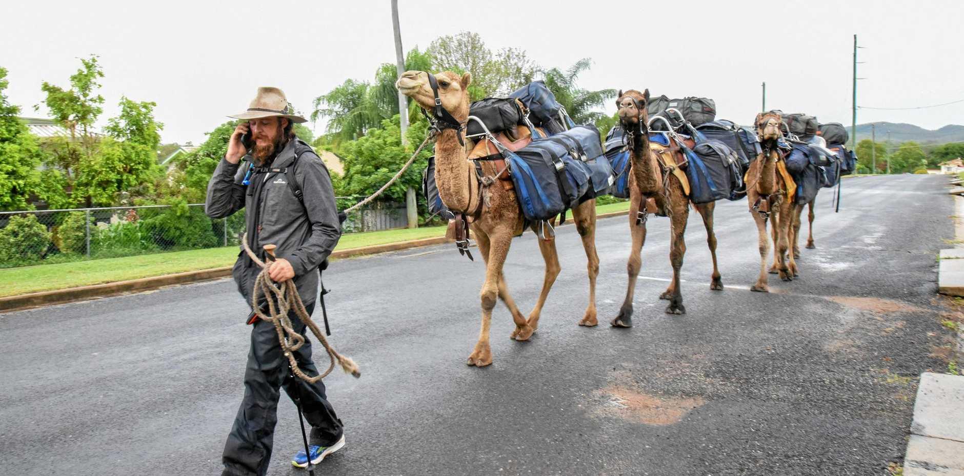 WANDERER: John Elliott with camels Ted, Jackson, Arthur and Bill, in Gayndah.