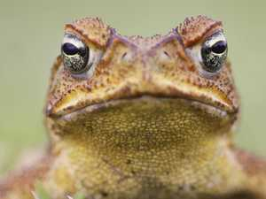 Cane toad penalty system too hard to regulate